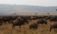 The wildebeest Migration in the Kenyan Masai Mara
