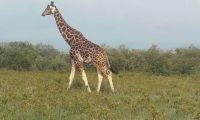 A griraffe walking in the Amboseli National Reserve