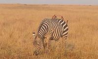 A Zebra grazing in the Masai Mara Plains