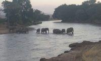 Elephants crossing the Mara River