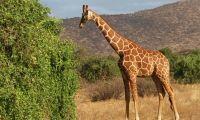 A Giraffe feeding on lush green fodder