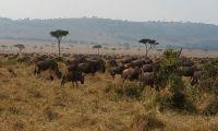 Animals in the Masai Mara Grazing