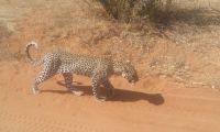 A lone leopard walking