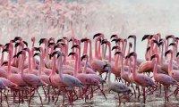 Flamingoes sighted on a lake Naivasha Safari