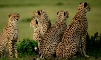 Cheetahs on the lookout for prey