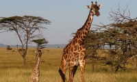 Giraffe walking in the Savannah