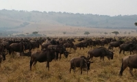 The wildebeest Migration in the Kenyan Masai Mara