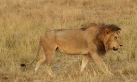 A hungry lion walking