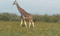 A griraffe walking in the Amboseli National Reserve