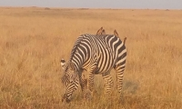 A Zebra grazing in the Masai Mara Plains