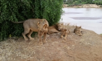 Lion Playing with Cubs