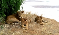 A lion resting with Cubs under a shade