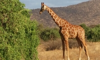 A Giraffe feeding on lush green fodder