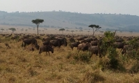 Animals in the Masai Mara Grazing