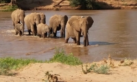 Elephants crossing a river