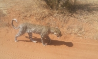 A lone leopard walking