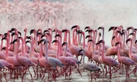 Flamingoes sighted on a lake Naivasha Safari