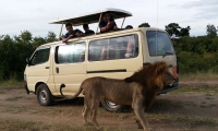 A lion gets near a Safari Van
