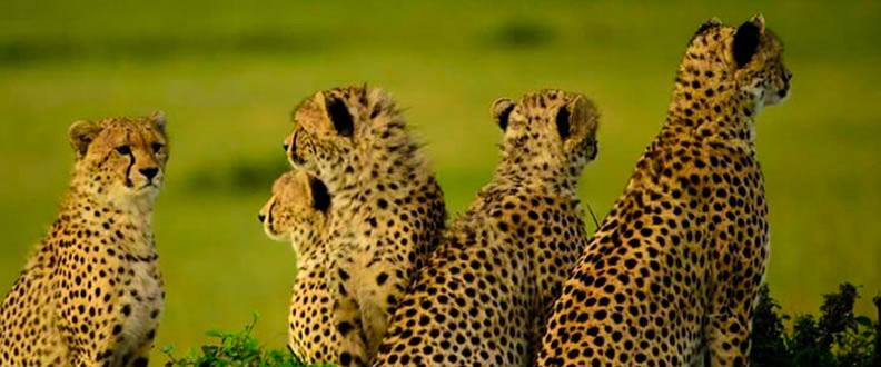 Cheetahs in Samburu